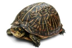 Сухопутная черепаха на белом фоне