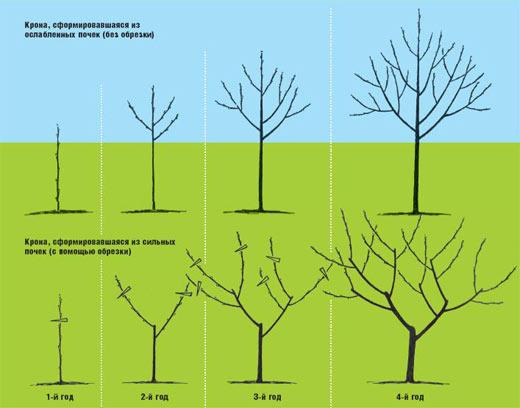 Обрезка деревьев - как правильно обрезать деревья ранней вес…