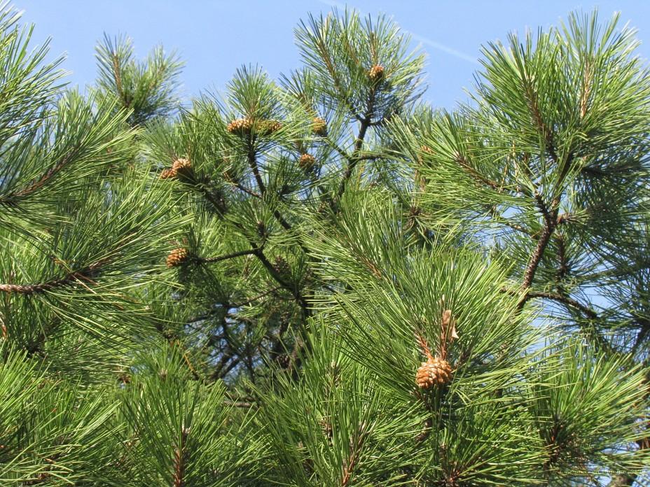 Какое размножение характерно для хвойных растений