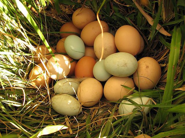 Сколько яиц может одновременно высиживать наседка
